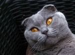 scottish-fold-216963_640