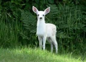 white fawn th